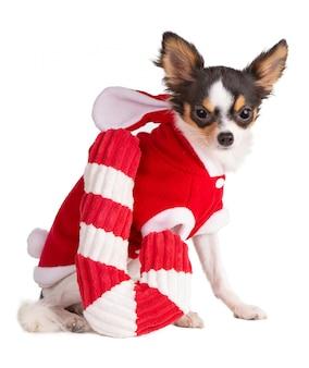Jonge chihuahua gekleed in rood tijdens kerstmis