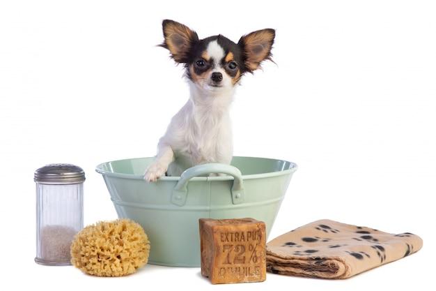 Jonge chihuahua in een bekken om gewassen te worden