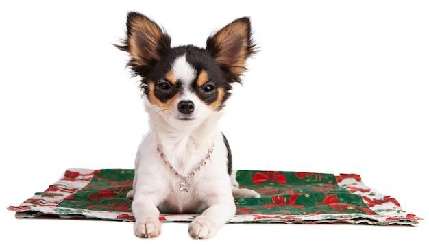 Jonge chihuahua op een tapijt met een roze halsband tijdens kerstmis op een geïsoleerd wit