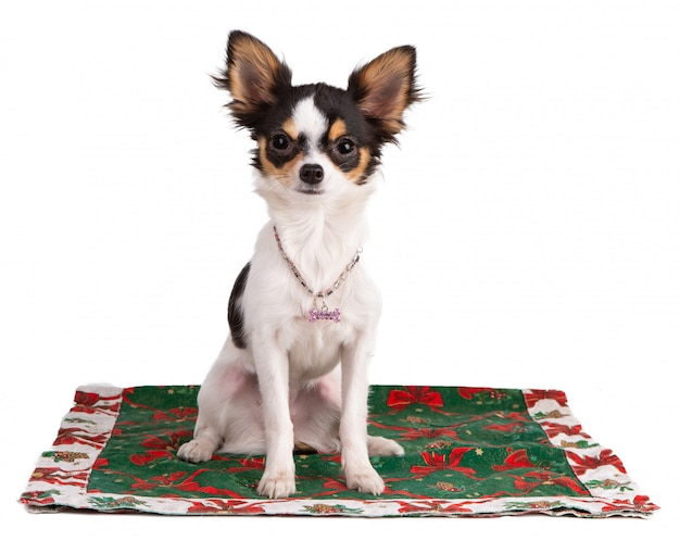 Jonge chihuahua op een tapijt tijdens kerstmis
