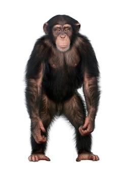 Jonge chimpansee die als een mens opstaat - simia-holbewoners op een geïsoleerd wit