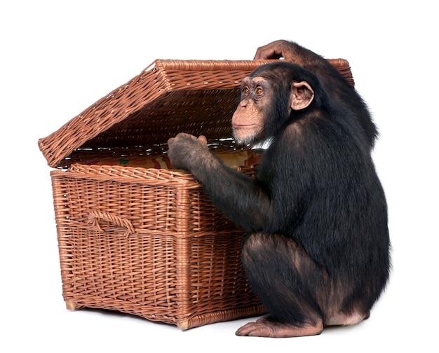 Jonge chimpansee die een borst onderzoekt - simia-holbewoners op een geïsoleerd wit