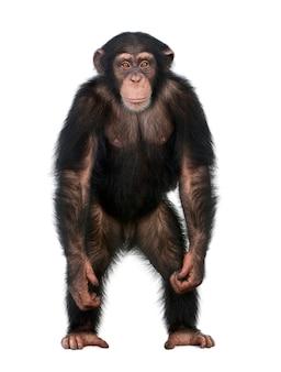 Jonge chimpansee die opstaat als een mens