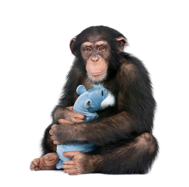 Jonge chimpansee met zijn teddybeer - simia-holbewoners op een geïsoleerd wit
