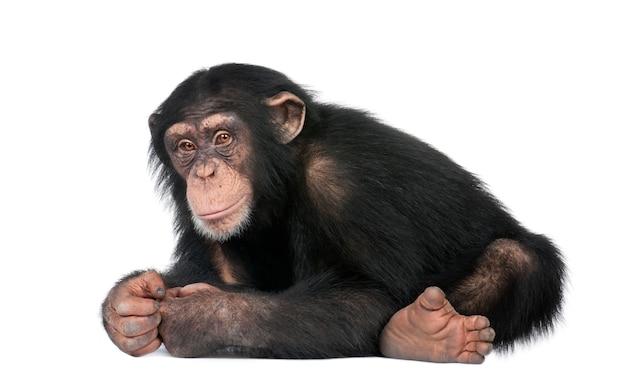 Jonge chimpansee - simia-holbewoners op een geïsoleerd wit