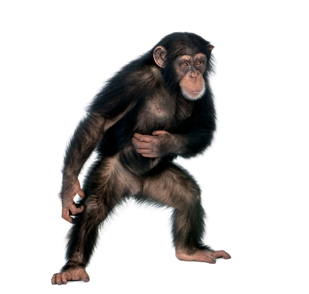 Jonge chimpansee, simia troglodytes, staande op wit geïsoleerd