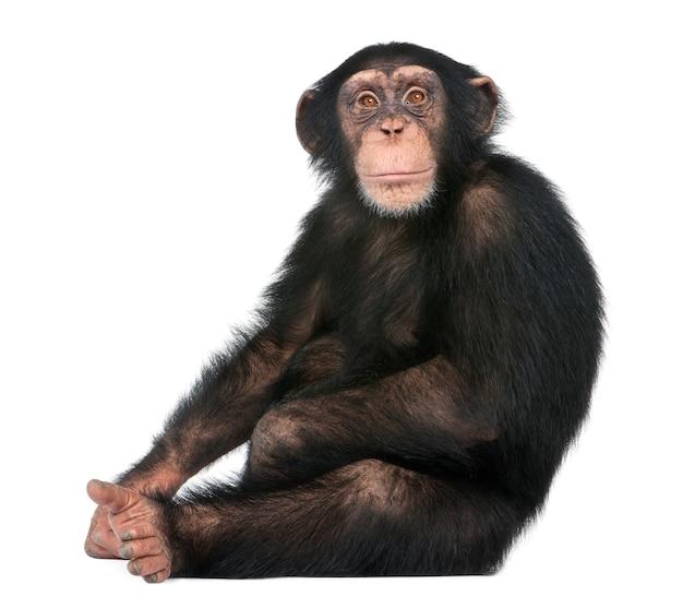 Jonge chimpanseezitting - simia-holbewoners op een geïsoleerd wit