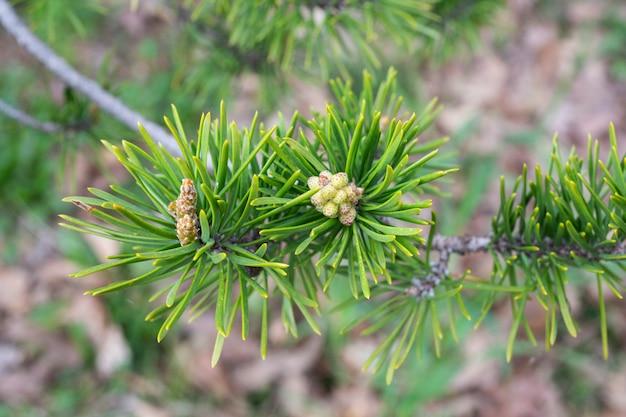 Jonge dennenappel op een tak close-up lente, het concept van een nieuw leven