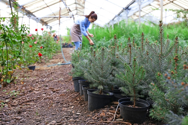 Jonge dennenboomplanten in kas