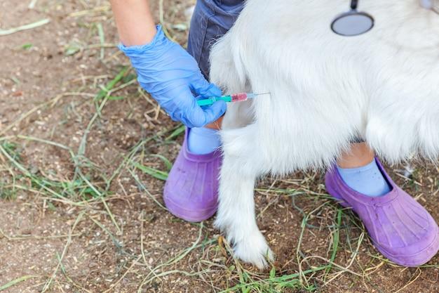 Jonge dierenarts vrouw met spuit houden en het injecteren van geit jong geitje op boerderij