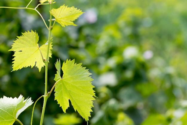 Jonge druivenbladeren op groene vage background_