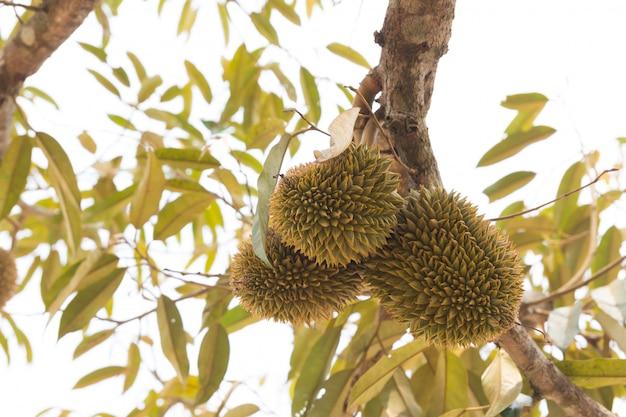 Jonge durians op boom in thailand
