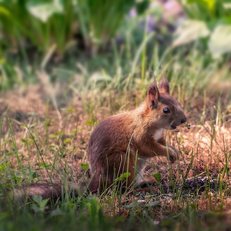 Jonge eekhoorn in de tuin
