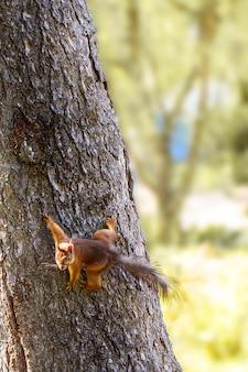 Jonge eekhoorn in het bos in het wild
