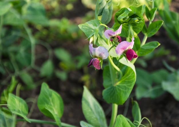 Jonge erwtenplant met bloemen en peulen