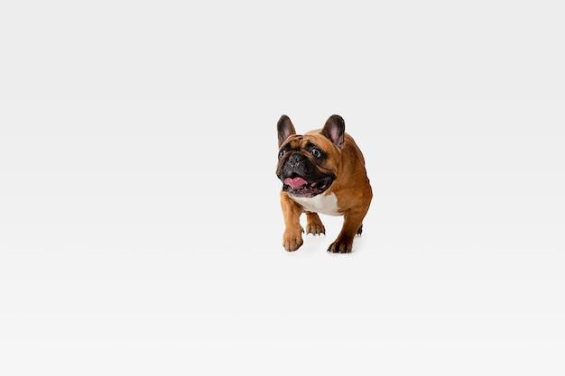 Jonge franse bulldog poseren. het leuke wit-bruine hondje of huisdier speelt en kijkt gelukkig geïsoleerd op witte muur. concept van beweging, beweging, actie. negatieve ruimte.