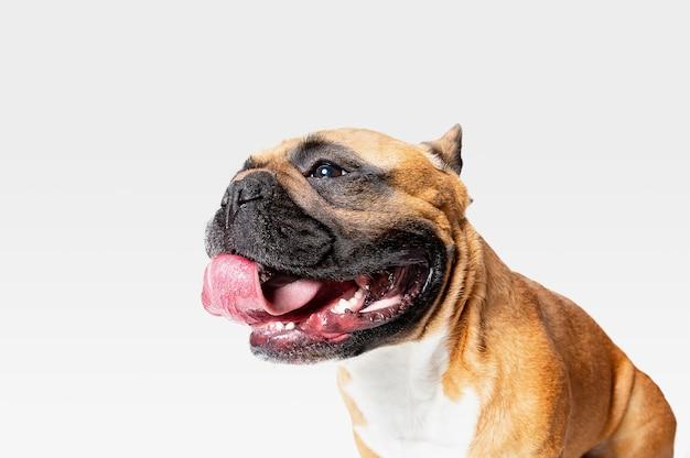 Jonge franse bulldog poseren. het leuke witbruine hondje of huisdier speelt en kijkt gelukkig geïsoleerd op witte achtergrond.