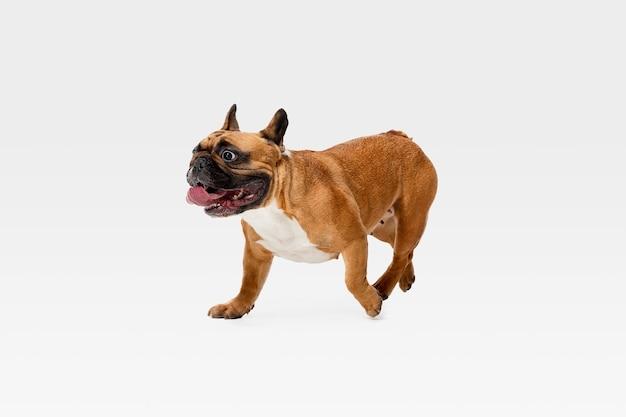 Jonge franse bulldog poseren