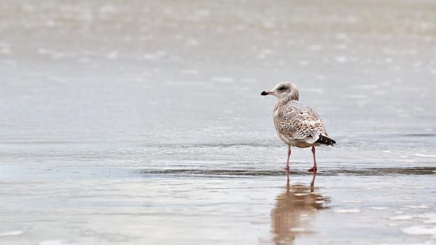 Jonge geelpootmeeuw, larus michahellis, wandelen aan de kust in de buurt van de oostzee. juveniele zeemeeuw die zich op zandig strand bevindt.