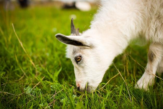 Jonge geit die in de weide weidt en gras eet.