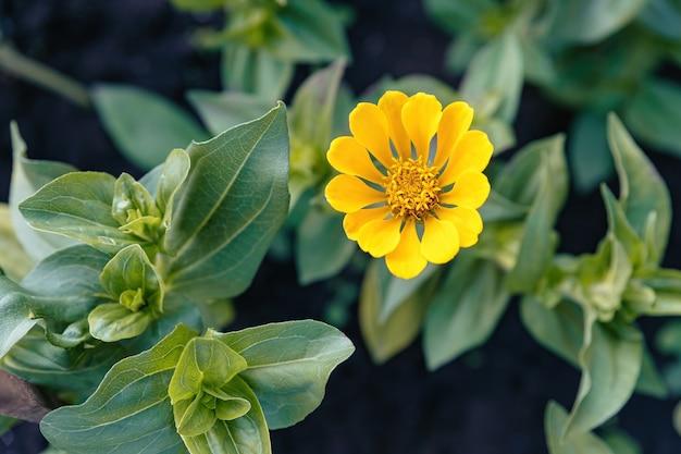 Jonge gele zinnia bloeide in het bloembed.