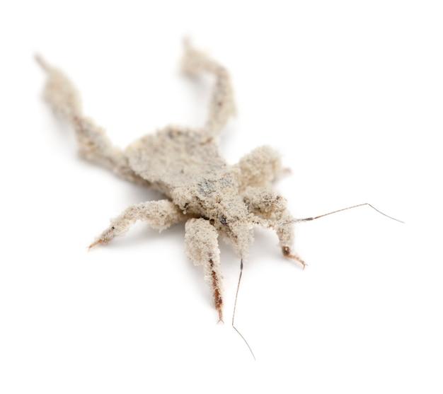 Jonge gemaskerde jager, reduvius personatus, bedekt met stof tegen een witte achtergrond