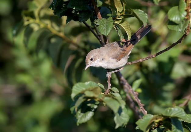 Jonge gemeenschappelijke whitethroat (communis sylvia) die in boomtakken met groene bladerenclose-up in zacht ochtendlicht wordt gefotografeerd