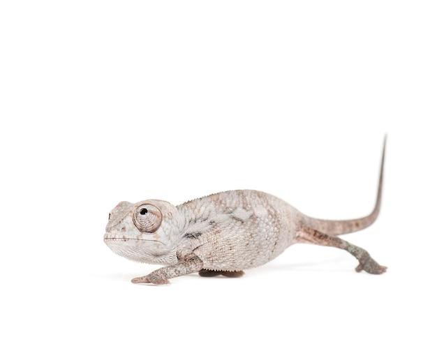 Jonge gesluierde kameleon, chamaeleo calyptratus, tegen wit oppervlak