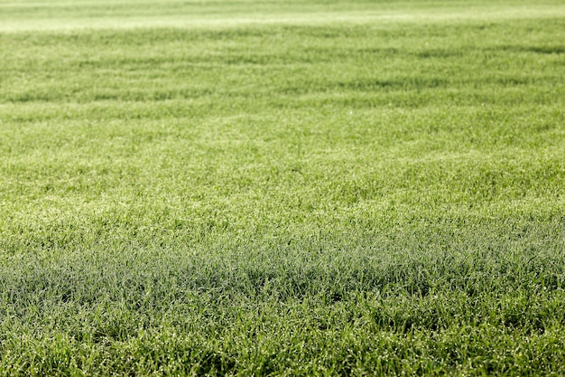 Jonge grasplanten close-up gefotografeerd close-up jonge grasplanten groene tarwe groeien op landbouwgebied landbouw herfst seizoen