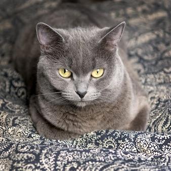 Jonge grijze schotse kat die op de bank thuis ligt