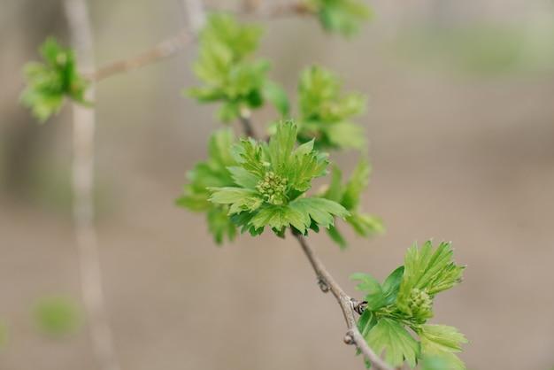 Jonge groene bladeren op een tak in de tuin in het voorjaar. selectieve aandacht
