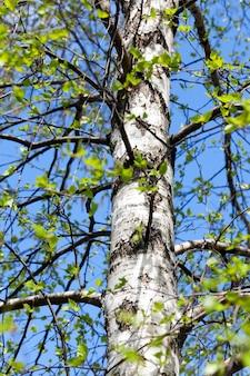 Jonge groene bladeren van een berk in de lente, close-up