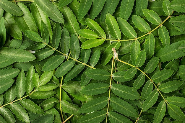 Jonge groene bladeren van lijsterbes