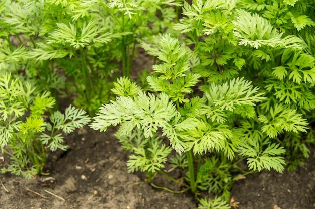 Jonge groene bladeren van wortelen en greens op een achtergrondgrond in de tuin