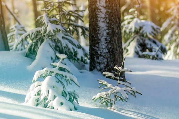 Jonge groene dennen bedekt met sneeuw op koude zonnige dag