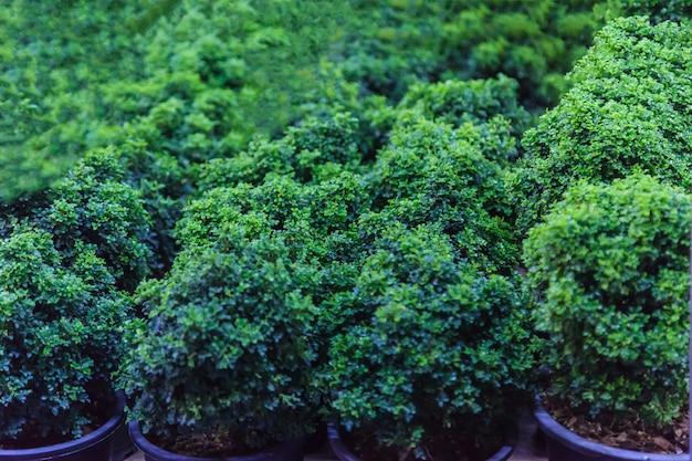 Jonge groene dwergbonsai-bomen en struiken in potten voor siertuin