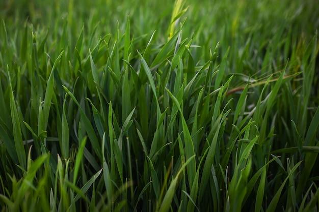 Jonge groene gerst in het veld, close-up. buitenrecreatie.