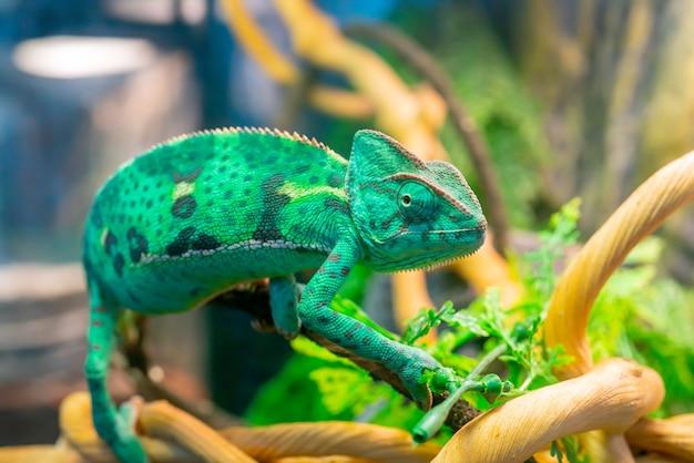 Jonge groene kameleon op een tak. schattig huisdier. beschermende kleuring van het dier.