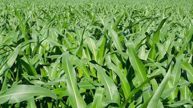Jonge groene maïs groeien op het veld, achtergrond. textuur van jonge planten van maïs, groene achtergrond. maïsplantage in zonlicht. achtergrond van jonge groene maïs die op het veld groeit.