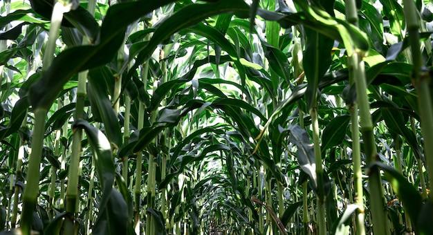 Jonge groene maïs groeien op het veld, achtergrond. textuur van jonge planten van maïs, groene achtergrond.