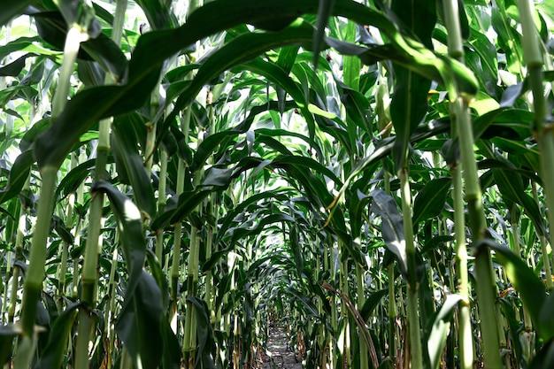 Jonge groene maïs groeit op de achtergrond van het veld
