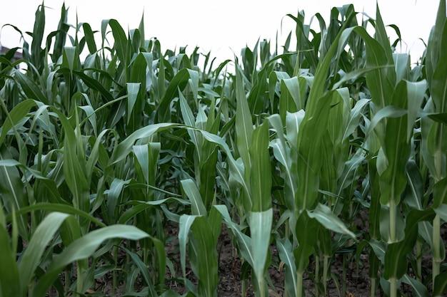 Jonge groene maïs groeit op het veld, achtergrond. textuur van jonge planten van maïs, groene achtergrond.