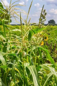 Jonge groene maïs met maïsbloemen. blauwe lucht en witte wolken.