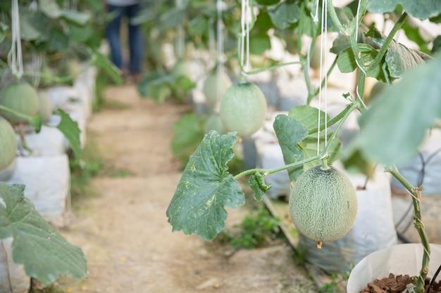 Jonge groene meloen of meloen groeien in de serre