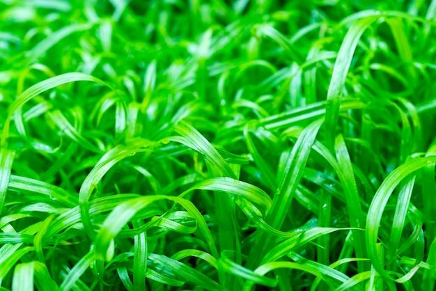 Jonge groene planten in boerderij veld. landbouw. teelt van eetbare planten.