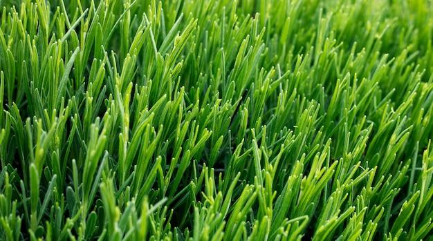 Jonge groene scheuten van lavendel