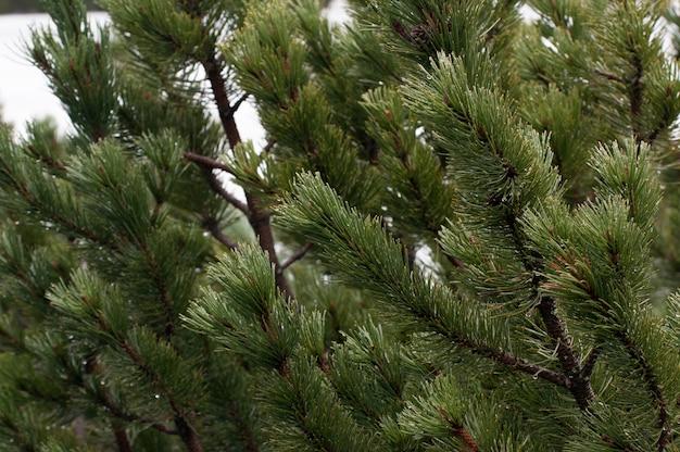 Jonge groene sparrentakken in de bergen van hoge tatras in zakopane polen