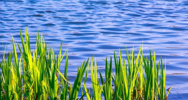 Jonge groene stengels zegge op het blauwe water als achtergrond in de rivier