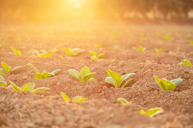 Jonge groene tabaksplanten op gebied