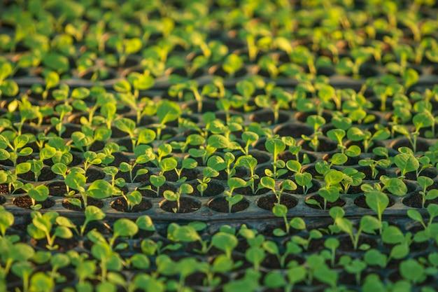 Jonge groene tabaksplanten